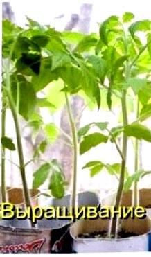 Видео урок. Рассада помидор. Выращивание рассады.